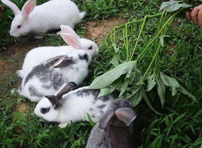 旗山万林养兔子
